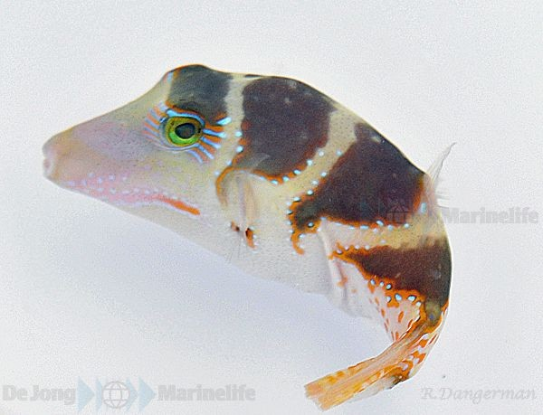 Canthigaster coronata - ähnlich valentini - Kronen-Spitzkopfkugelfisch