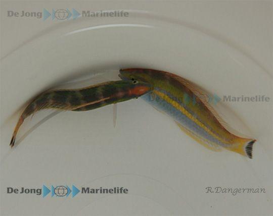 Männchen Pseudojuloides cerasinus - Multicolor-Lippfisch (Zuckerstangen-Junker)