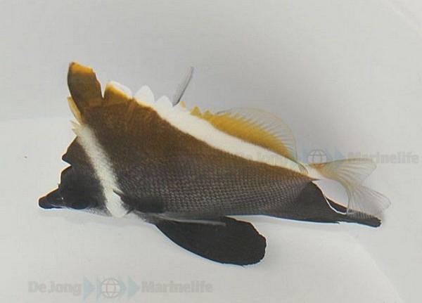 Heniochus varius - Seebulle Wimpelfisch