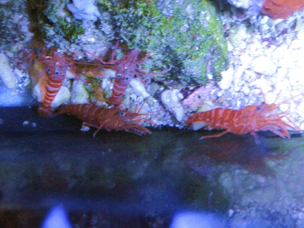 Lysmata kuekenthali - Wildfang: sehr effektive glasrosenfressende Garnele