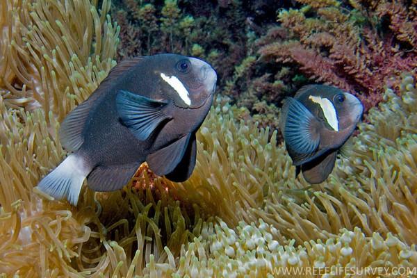 neuer Preis - seltenste Anemonenfischart der Welt - Amphiprion mccullochi - Clownfisch Nachzu