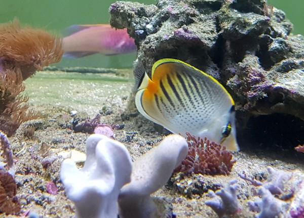 Chaetodon pelewensis - Diagonalstreifen-Falterfisch
