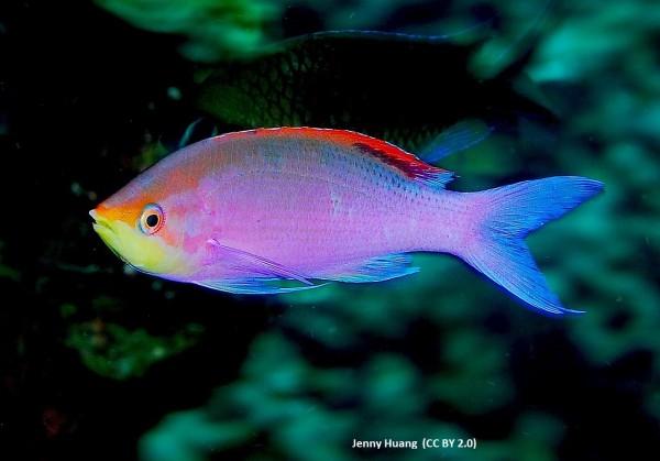 Weibchen Pseudanthias - Mirolabrichthys tuka - Fahnenbarsch