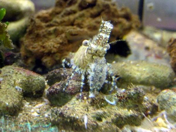 Saron marmoratus - hübsche friedliche Garnele