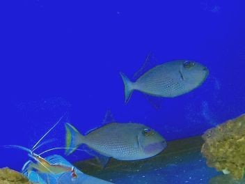 Weibchen Xanthichthys auromarginatus - Blaukehldrücker