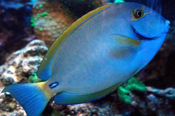 Acanthurus dussumieri - Augenstreif-Doktorfisch Größe S oder SM