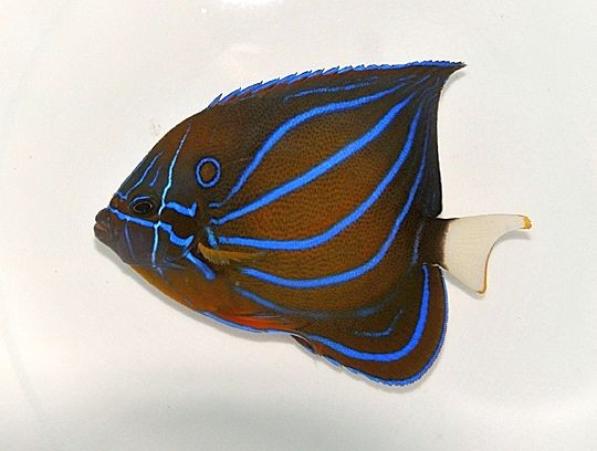 Pomacanthus annularis adult - Ringkaiserfisch
