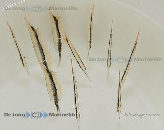 Aeoliscus strigatus - Rasiermesserfisch