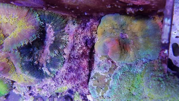 Stichodactyla sp. 01 Beispiele Min-Max Anemone