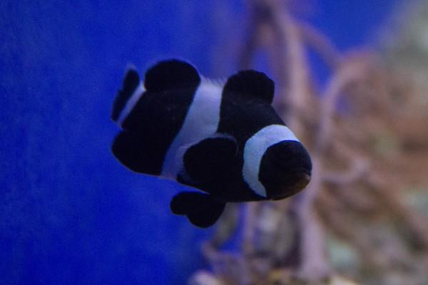 Amphiprion ocellaris black - schwarzer Clownfisch - Nachzucht