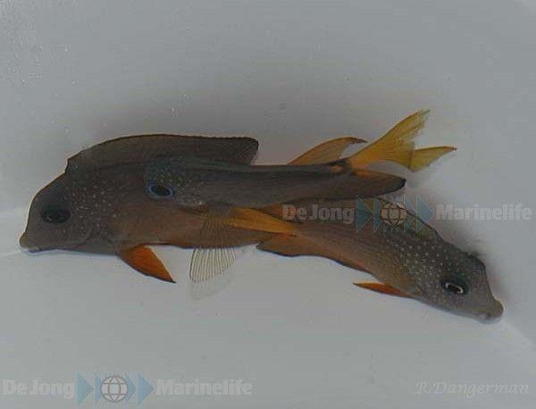 Ctenochaetus binotatus - Blauaugen-Borstenzahndoktor - Rarität