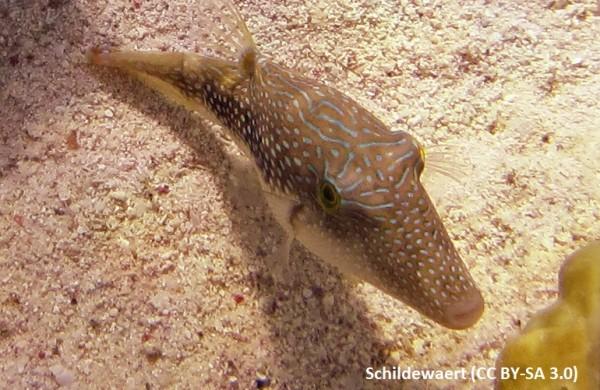 Canthigaster margaritatus - Spitzkopfkugelfisch