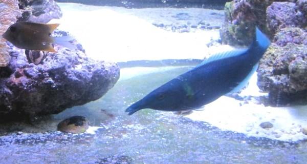 Gomphosus caeruleus - Männchen Vogellippfisch Schnabellippfisch
