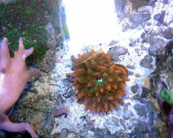 Angebot sunburst Kupferanemone -Entacmaea quadricolor Größe SM