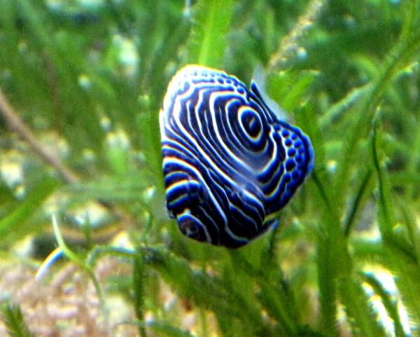 Pomacanthus imperator - Kaiserfisch juvenile Färbung