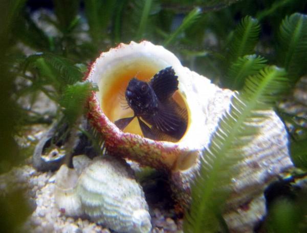 Emblemaria pandionis - kleiner schwarzer Segelflossen-Blenny