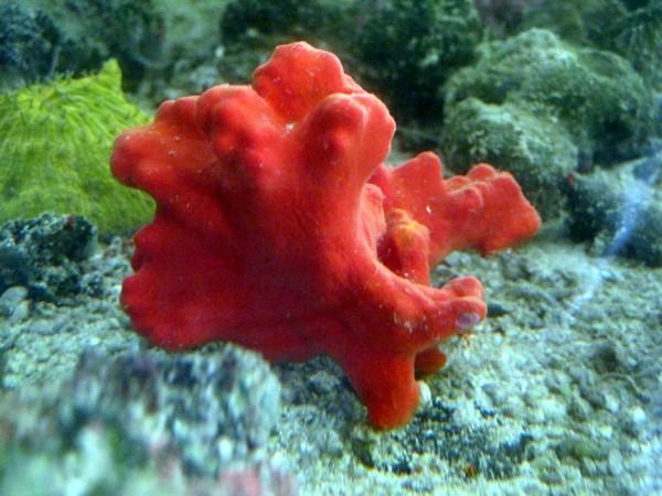 roter karibischer Schwamm - Beispielbild