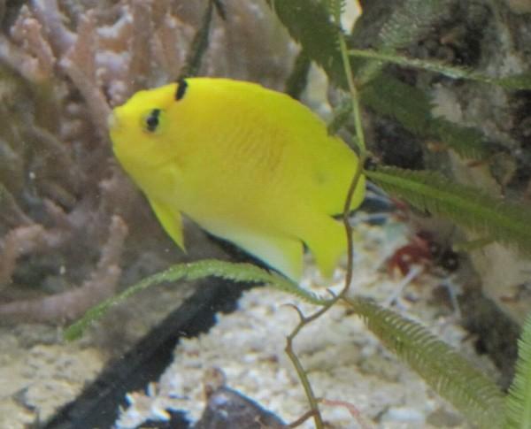 Apolemichthys trimaculatus - Dreipunkt-Rauchkaiserfisch - juvenil