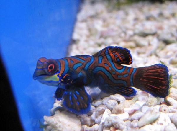 Pterosynchiropus splendidus - Mandarin-Fisch