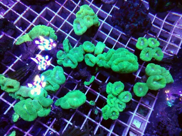 Angebot 4 Polypen Caulastrea furcata - neongrün