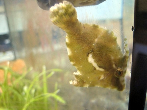 aus Nachzucht Acreichthys tomentosus - Tang- oder Seegrasfeilenfisch gegen Glasrosen