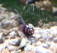 kleine Turboschnecke mini - Nassarius sp.01 Netzreusenschnecke aus Nachzucht