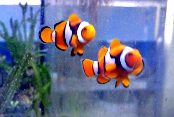 Amphiprion percula - echter Clownfisch - Nachzucht