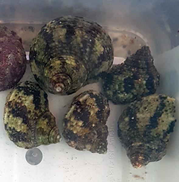 Turbo bruneus - Algenschnecke eigene Nachzucht Turbo brunneus