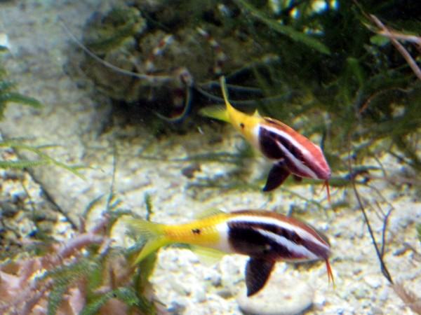 Parupeneus barberinoides - Zweifarben-Meerbarbe