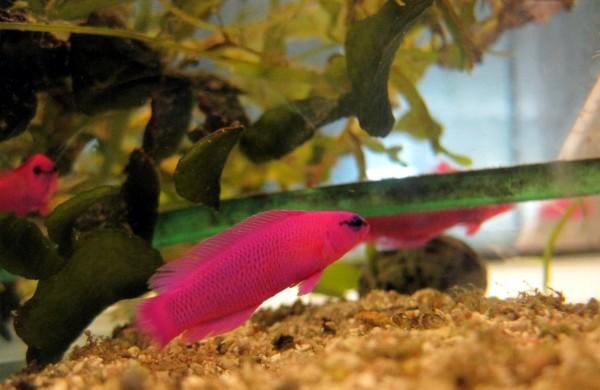 Pseudochromis fridmani - Fridmani Zwergbarsch aus Nachzucht