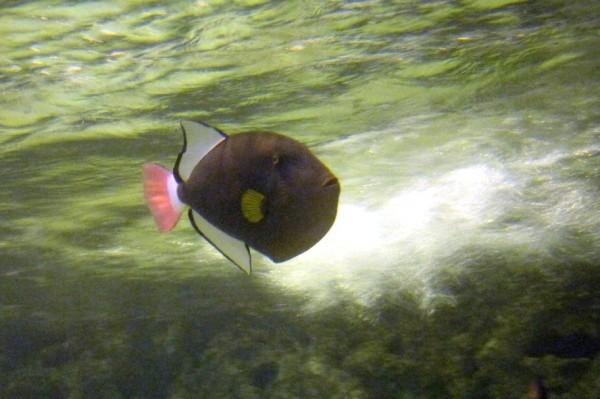 Melichthys vidua - Rotschwanz-Drücker pink tail