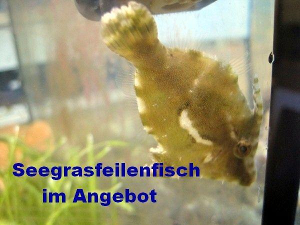 Angebot Acreichthys tomentosus - Tang- oder Seegrasfeilenfisch gegen Glasrosen