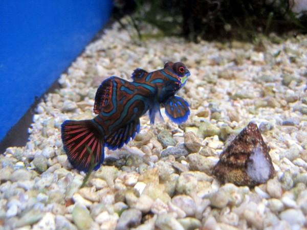 Preissenkung: aus Nachzucht juvenile Pterosynchiropus splendidus - Mandarin-Fisch