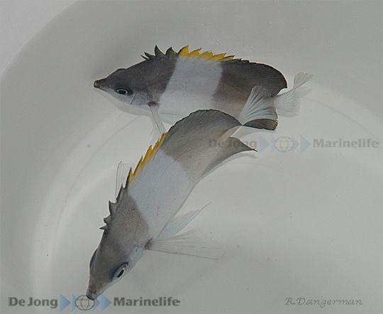 Hemitaurichthys zoster - Pyramiden Falterfisch