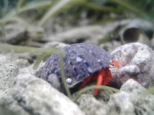 Paguristes cadenati - roter Algeneinsiedler Karibik