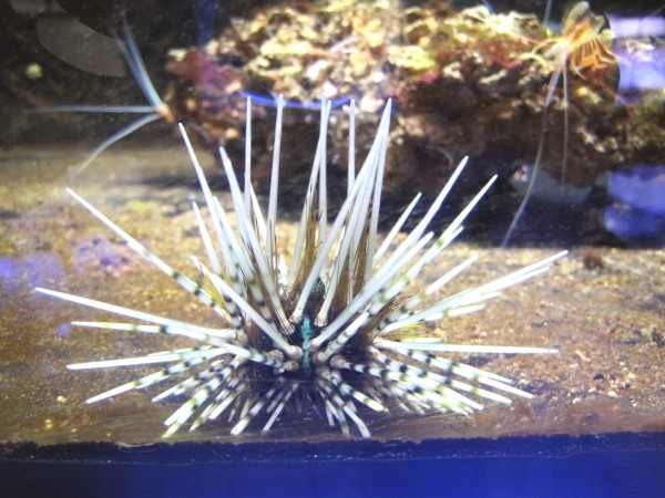 Echinothrix calamaris - Bleistift-Diademseeigel