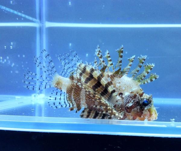 Dendrochirus brachypterus - Kurzflossen-Zwergrotfeuerfisch - Achtung: giftig