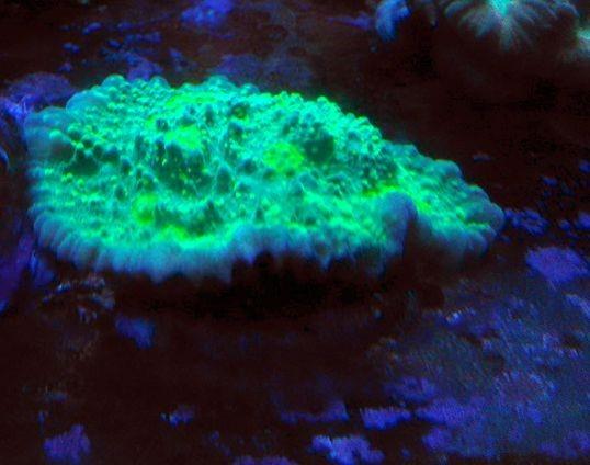 WYSIWYG LPS Echinophyllia Chalice grün hellgrün gelblich