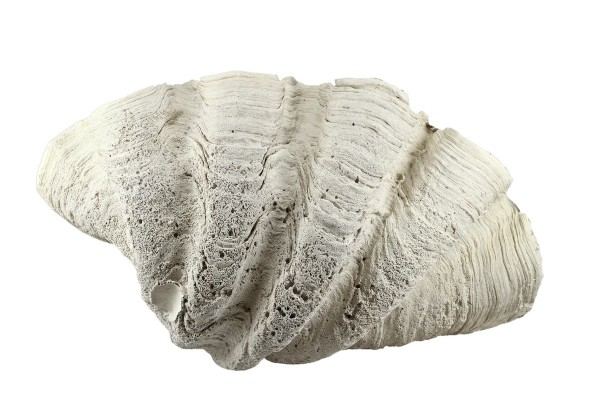 Back to Nature Tridacna Clam XL
