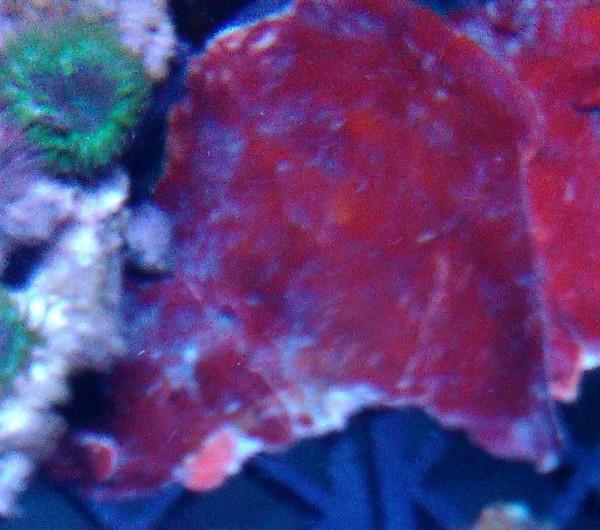Peysonnelia sp - rote plattenförmige Kalkalge Ableger 3-5 cm z.B.Animpfen von Becken mit Kalkrotal