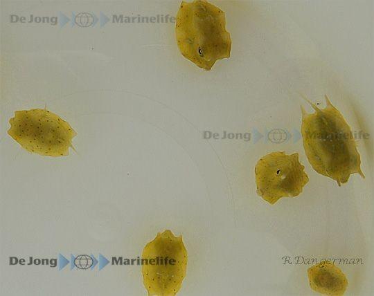 Lactoria cornuta - gehörnter Kuhkofferfisch in Größe S oder SM