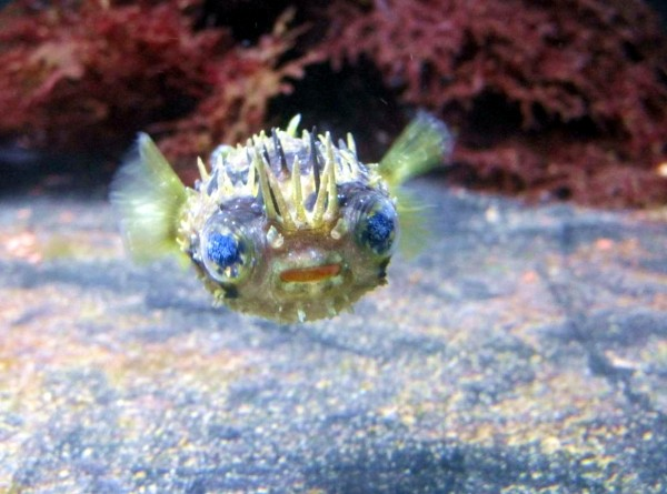 Diodon holocanthus - Langstachel-Igelfisch