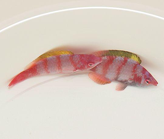 Cirrhilabrus flavidorsalis - Gelbrücken-Zwerglippfisch