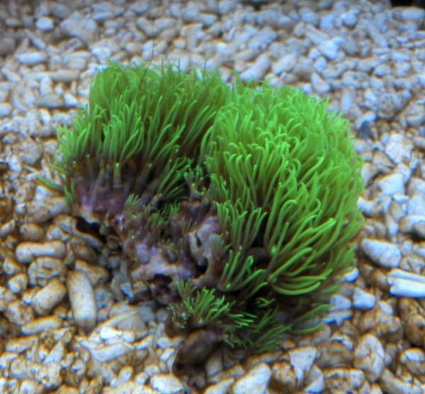 Ableger grün leuchtend Briareum stechei - Röhrenkoralle