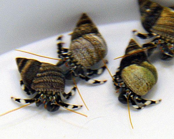 Calcinus laevimanus - WeißhandEinsiedler