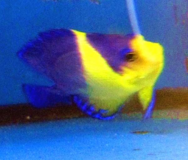 Paracentropyge venusta - Purpurmasken - Zwergkaiserfisch Rarität