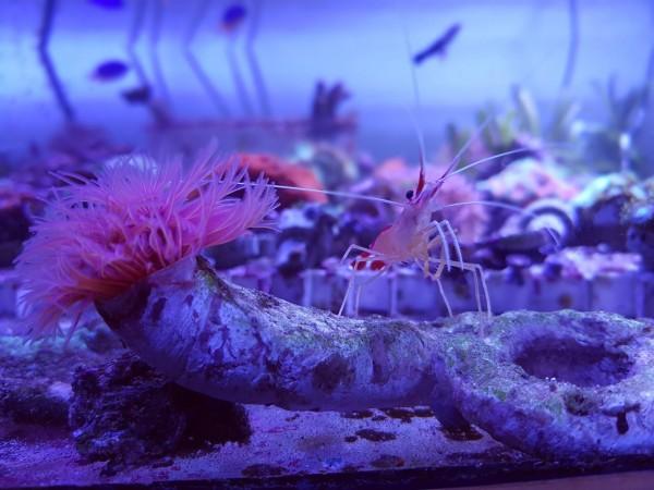 selten Kalkröhrenwurm rot - Protula bispiralis