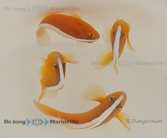 Amphiprion sandaracinos- Weißrücken Clownfisch