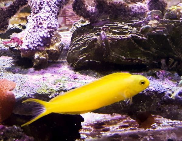 Meiacanthus oualanensis - gelber Säbelzahnschleimfisch