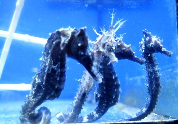 juvenile Hippocampus erectus -noch kein Geschlecht feststellbar- ca 8cm - Linien-Seepferdchen